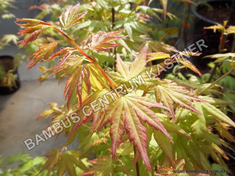 Acer palmatum 'Orange Dream' – Javor dlanitolistý