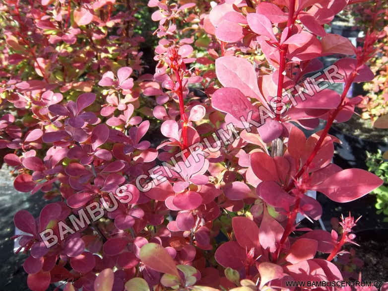 Berberis thunbergii 'Orange Raket' ® – Dřišťál Thunbergův