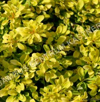 Berberis thunbergii 'Tiny Gold' ®