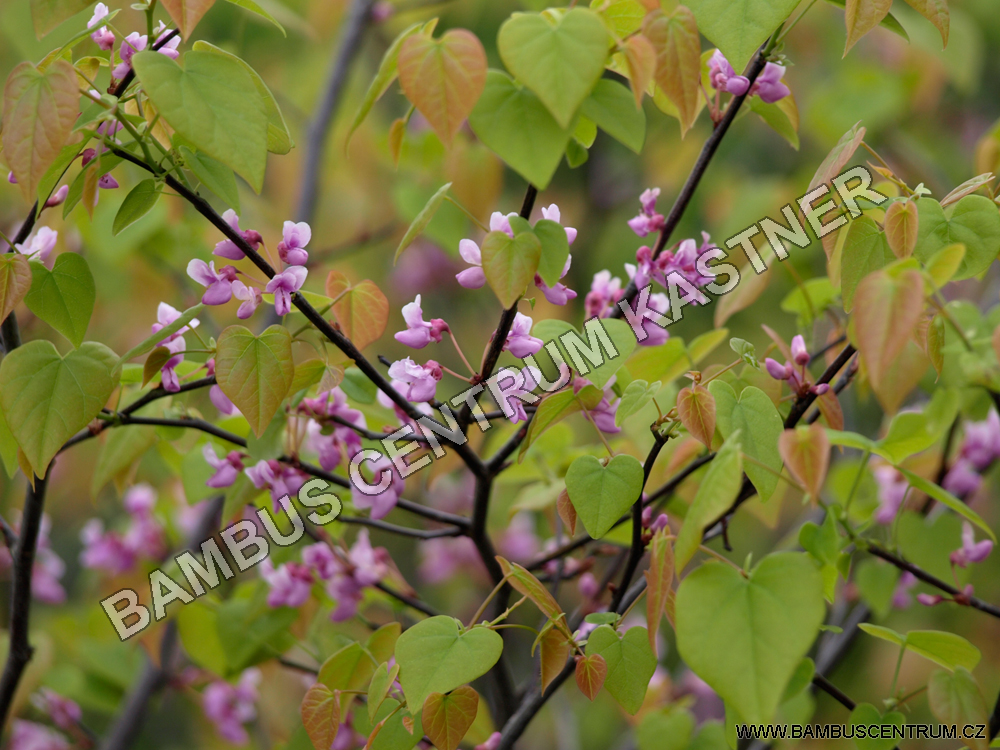 Cercis canadensis Ace of Hearts