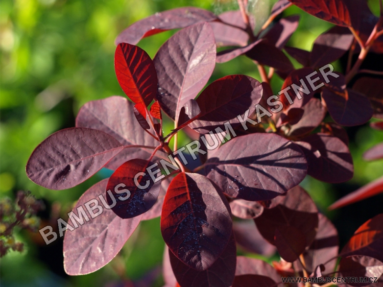 Cotinus coggygria 'Royal Purple' – Ruj vlasatá