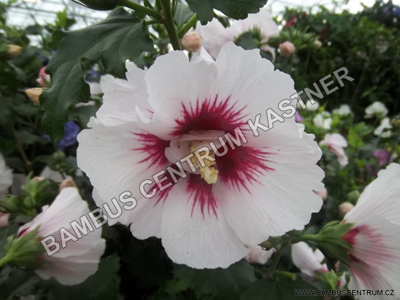Hibiscus syriacus 'Red Heart' – Ibišek syrský