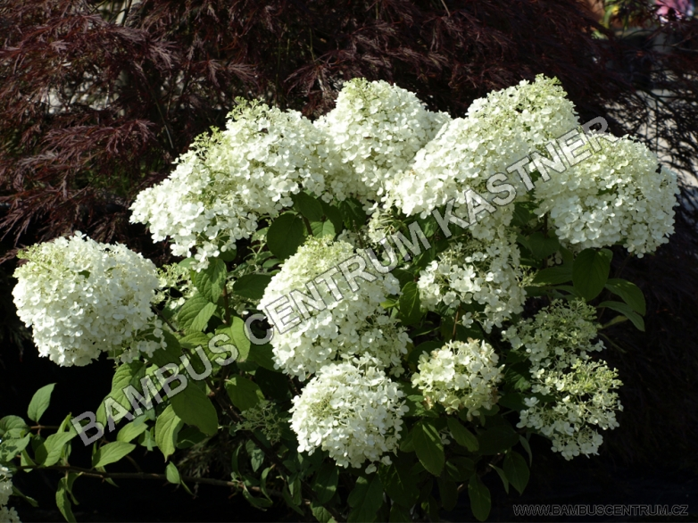 hydrangea paniculata bobo hortenzie latnat. Black Bedroom Furniture Sets. Home Design Ideas