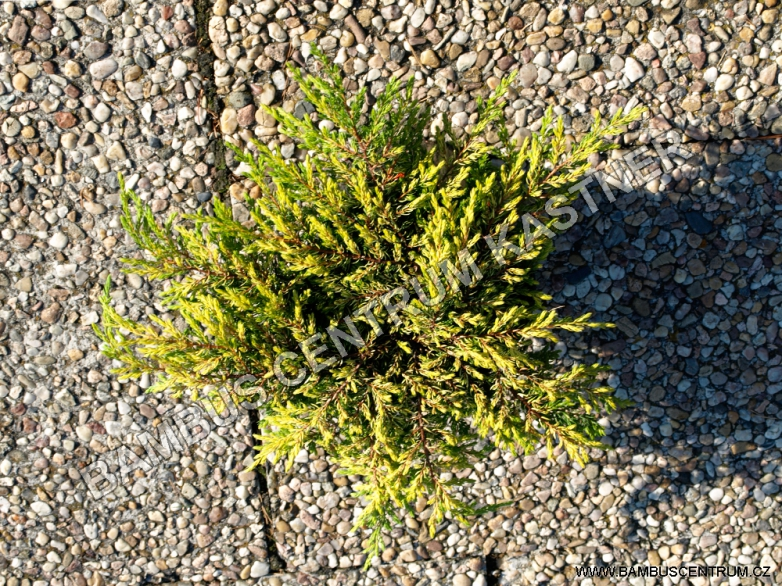 Juniperus communis 'Goldschatz' – Jalovec obecný