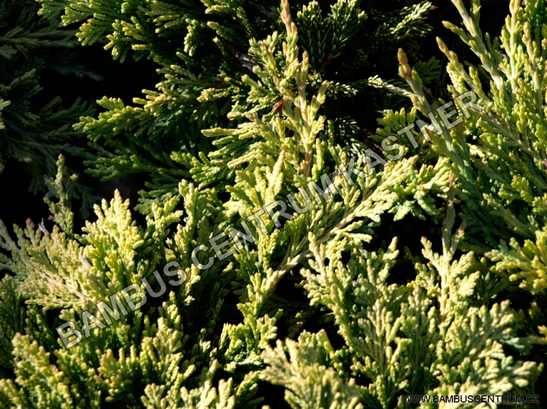 Juniperus horizontalis 'Golden Carpet' – Jalovec polehlý