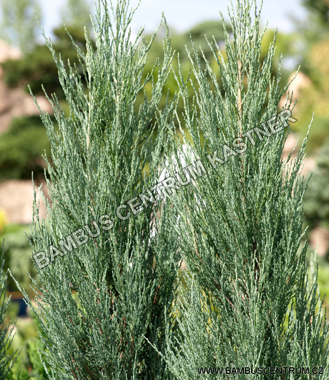 Juniperus scopulorum 'Blue Arrow' – Jalovec skalní