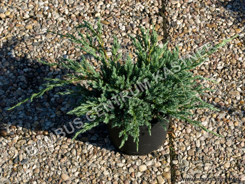 Juniperus squamata 'Blue Carpet' – Jalovec šupinatý