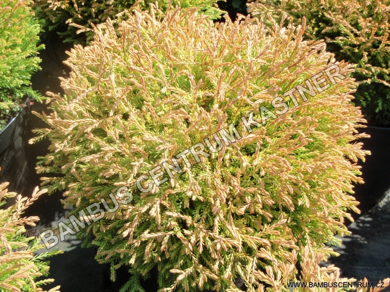 Thuja occidentalis 'Golden Tuffet' – Zerav západní