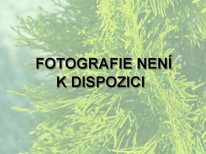Thuja occidentalis 'Yellow Ribon' – Zerav západní