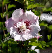 Hibiscus syriacus 'Pinky Spot' ®
