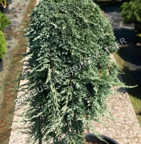 Juniperus horizontalis 'Ice Blue'