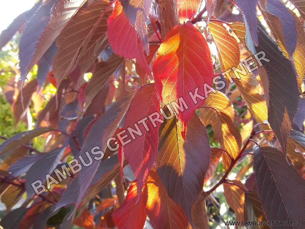 Prunus serrulata 'Royal Burgundy'