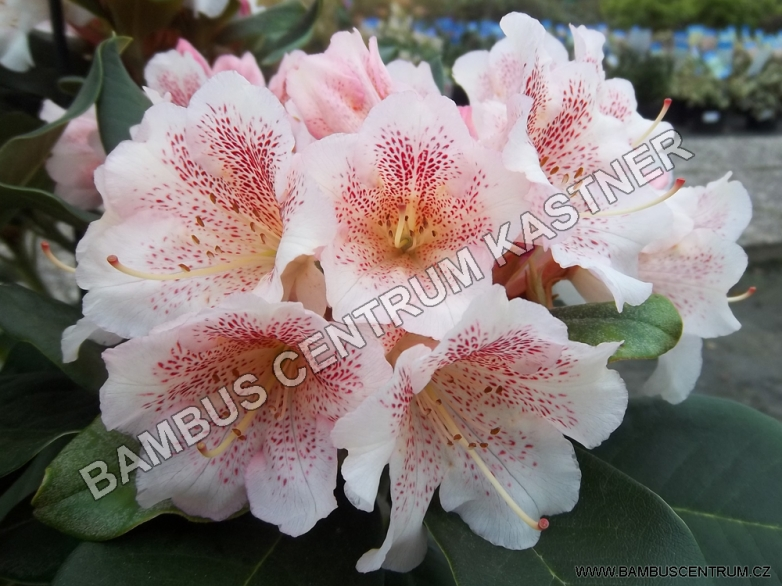 Rhododendron 'Double Dots'
