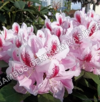 Rhododendron 'Furnival´s Daughter'