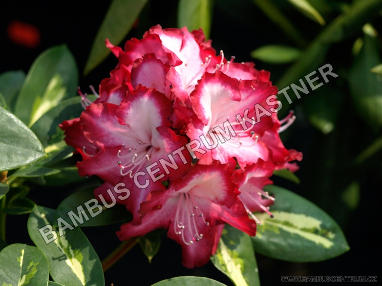 Rhododendron 'Pres. Roosevelt'