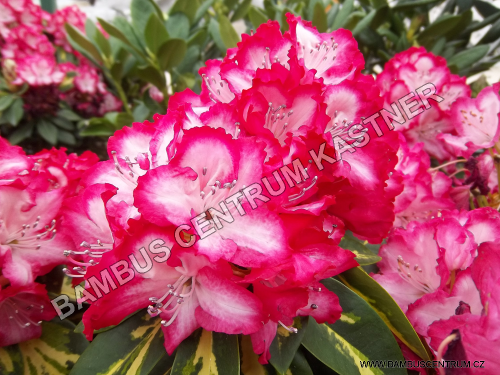 Rhododendron 'Pres.Roosevelt'