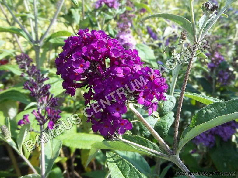 Buddleja davidii 'Royal Red' – Komule Davidova