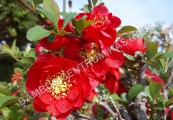 Chaenomeles 'Choujukan' – Kdoulovec
