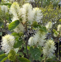 Fothergilla major 'Blue Shadow' ®