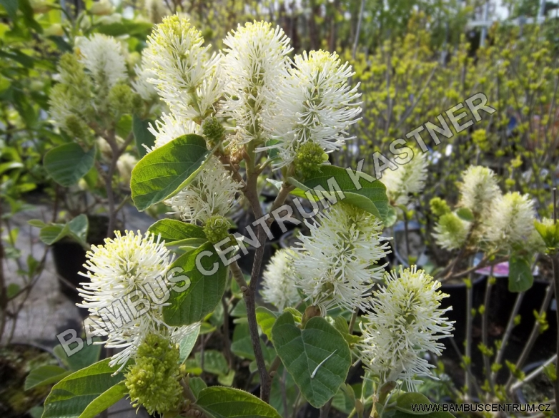 Fothergilla major 'Blue Shadow' ® – Fotergila horská