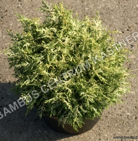 Chamaecyparis lawsoniana 'Pearly Swirl´s'