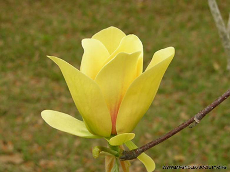 Magnolia 'Hot Flash' – šácholan