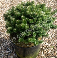 Abies koreana 'Dark Hill'