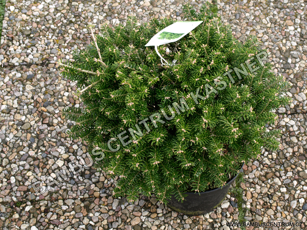 Abies koreana 'Green Carpet' I