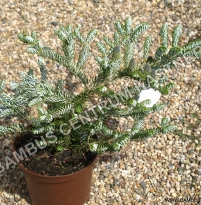 Abies koreana 'Silver Star'