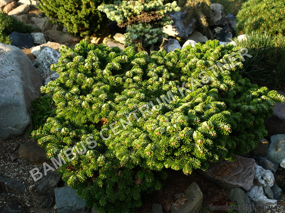 Abies nordmaniana 'Munsterland'