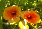 Campsis x Summer Jazz 'Sunrise Gold' – Trubač