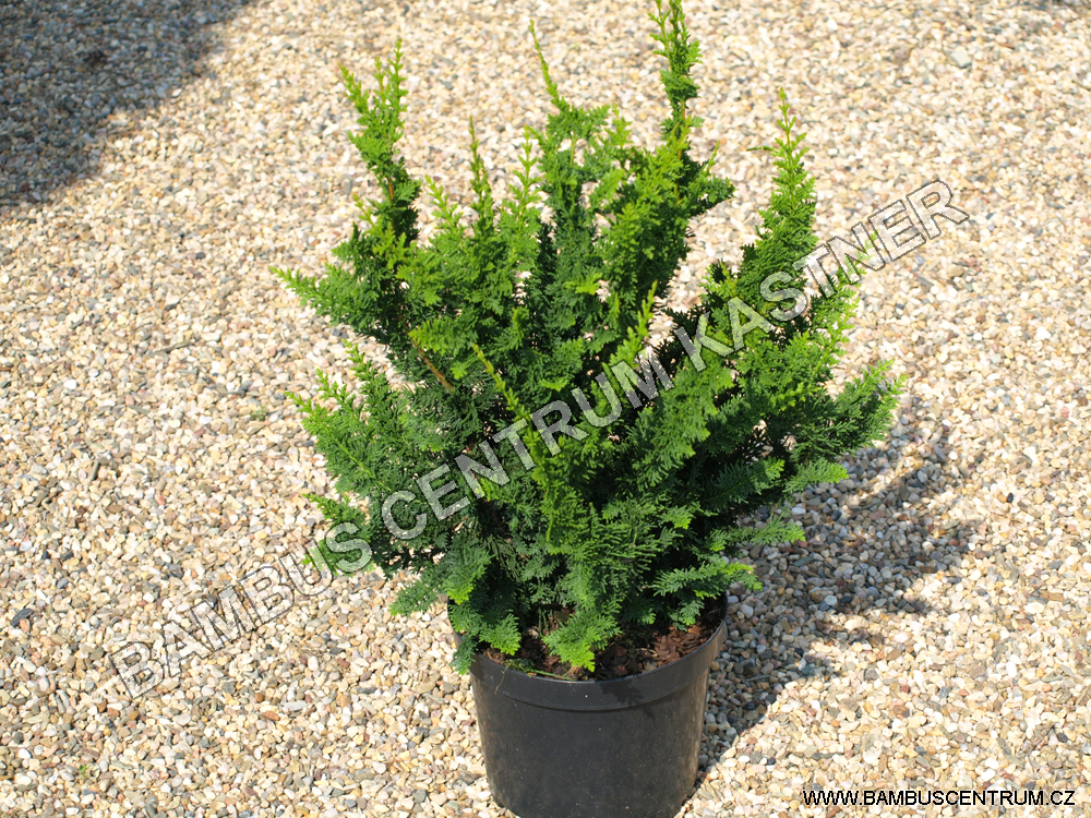 Chamaecyparis obtusa 'Teddy Bear'