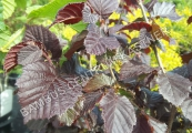Corylus avellana 'Anny's Purple Dream' – Líska obecná