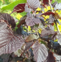 Corylus avellana 'Anny's Purple Dream'