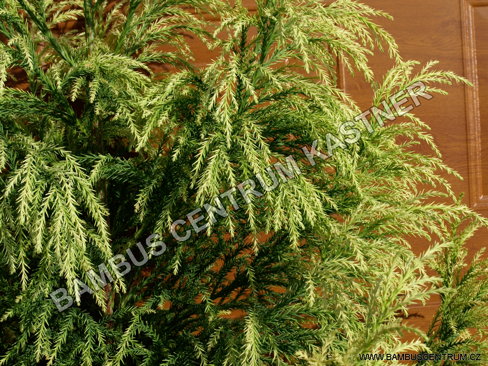 Cryptomeria japonica 'Hungarian Gold'