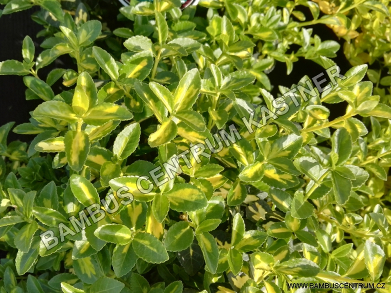 Euonymus fortunei 'Blondy' – Brslen Fortuneův