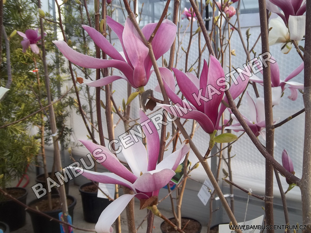 Magnolia Red Lucky