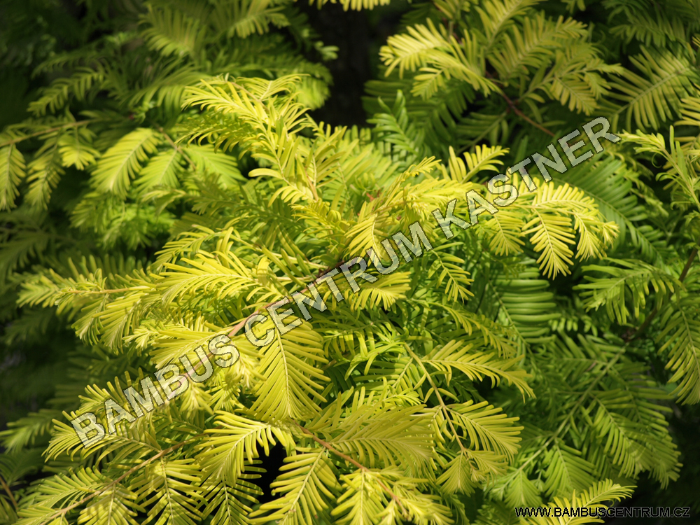 Metasequoia glyptostroboides 'Gold Rush
