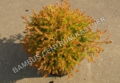 Thuja occidentalis 'Fire Chief' – Zerav západní