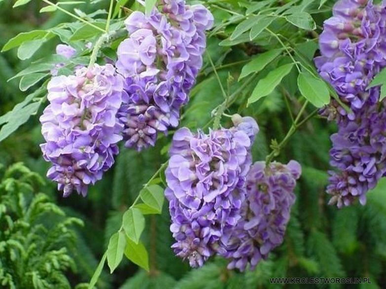 Wisteria frutescens 'Longwood Purple' – Vistárie