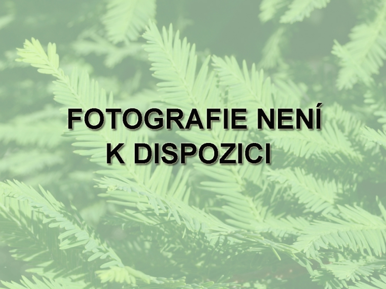 Taxodium distichum 'Twisted Logic' – Tisovec dvouřadý