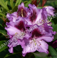 Rhododendron 'Pfauenauge'