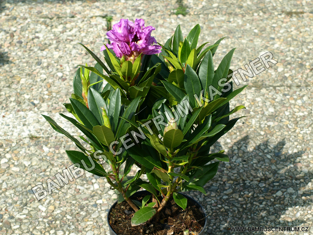 Rhododendron Pfauenauge