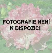 neni photo rhododendron