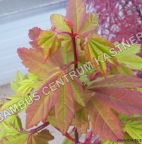 Acer circinatum Burgundy Jewel