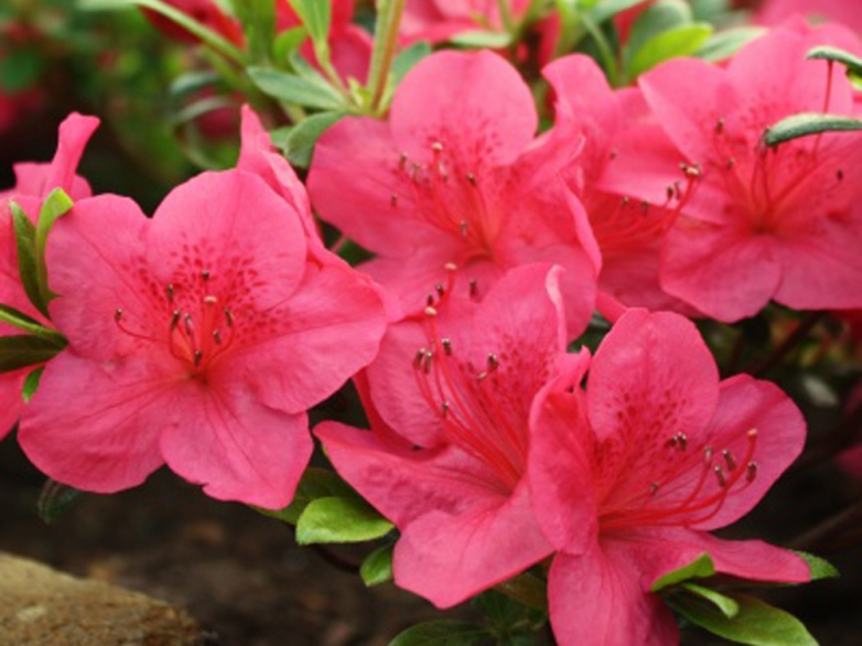 Azalea japonica 'Little Red'