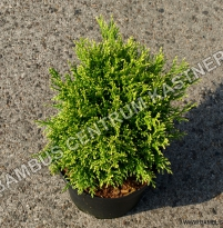 Chamaecyparis pisifera 'Filip´s Happy Day'