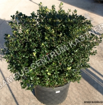 Ilex x meserveae ´Blue Angel´