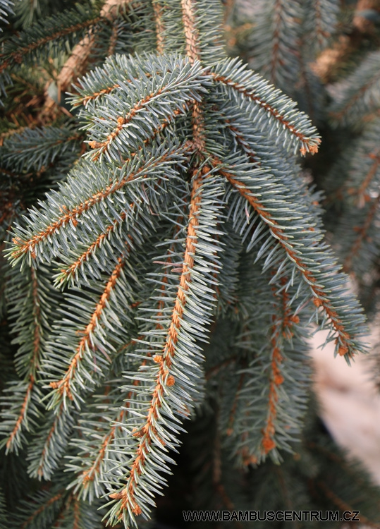 Picea pungens The Blues