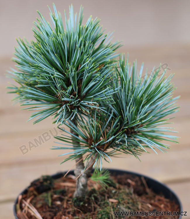 Pinus koraiensis 'Blue Ball' – Borovice korejská